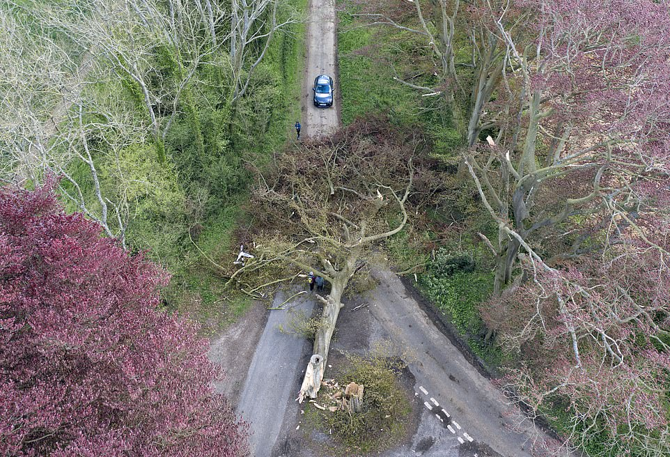 A 50-metre Beech tree blown over by storm Hannah today. It blocked an intersection near Hinton Ampner in Hampshire