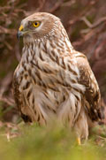 Adult female hen harrier