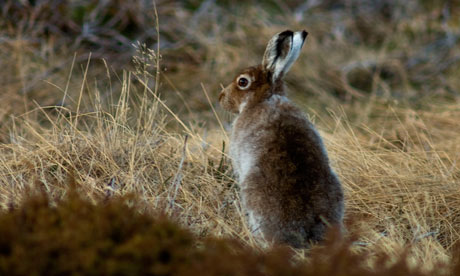 Mountain hare in its summer coat