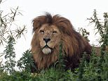 The RSPCA is investigating a zoo previously dubbed 'Britain's worst' after it emerged that Nero the lion was fatally poisoned by contaminated meat (pictured: A lion at the zoo)