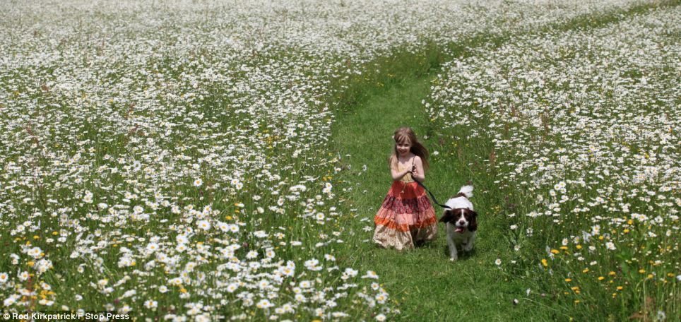 With yet more rain and stormy weather forecast, Freya Kirkpatrick , 4, takes a last chance to play in the sunshine with her dog, Monty, in a giant field of ox eye daisies on the edge of Blithfield Reservoir near Rugeley, Staffordshire