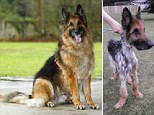 Soldier the Alsatian cross after being nursed back to health and when he was found weighing just half his normal weight